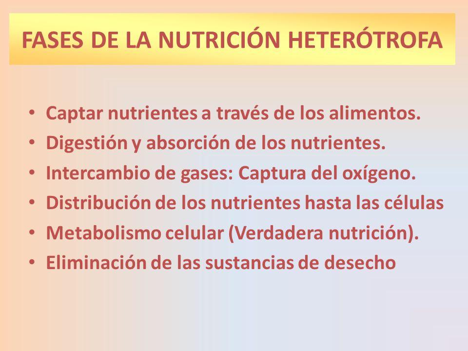 FASES DE LA NUTRICIÓN HETERÓTROFA Captar nutrientes a través de los alimentos. Digestión y absorción de los nutrientes. Intercambio de gases: Captura