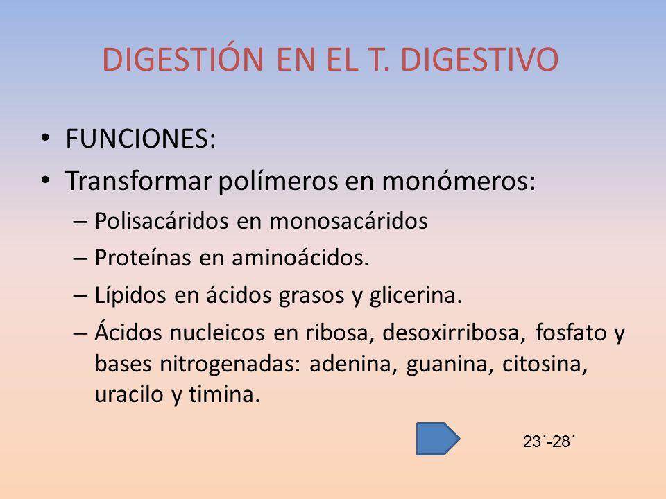 FUNCIONES: Transformar polímeros en monómeros: – Polisacáridos en monosacáridos – Proteínas en aminoácidos. – Lípidos en ácidos grasos y glicerina. –