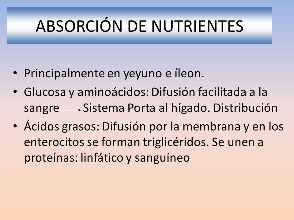 ABSORCIÓN DE NUTRIENTES Principalmente en yeyuno e íleon. Glucosa y aminoácidos: Difusión facilitada a la sangre Sistema Porta al hígado. Distribución