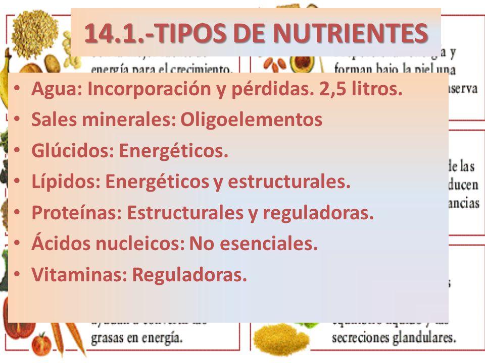 14.1.-TIPOS DE NUTRIENTES Agua: Incorporación y pérdidas. 2,5 litros. Sales minerales: Oligoelementos Glúcidos: Energéticos. Lípidos: Energéticos y es