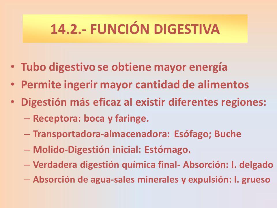 Tubo digestivo se obtiene mayor energía Permite ingerir mayor cantidad de alimentos Digestión más eficaz al existir diferentes regiones: – Receptora: