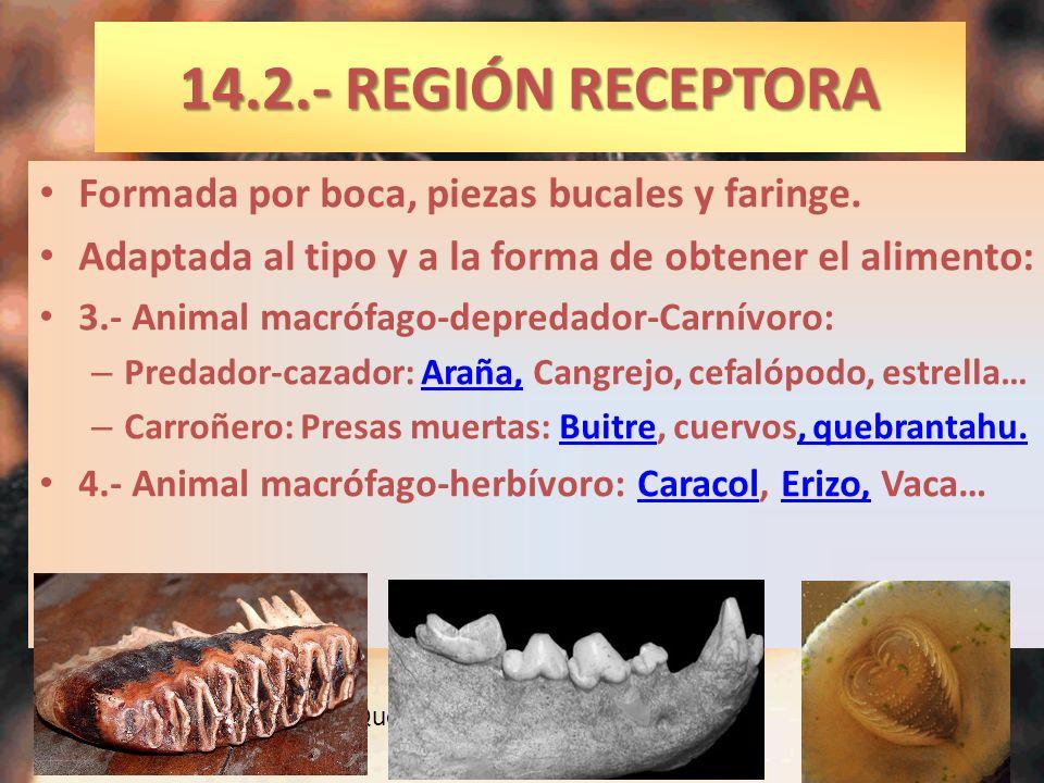 Formada por boca, piezas bucales y faringe. Adaptada al tipo y a la forma de obtener el alimento: 3.- Animal macrófago-depredador-Carnívoro: – Predado
