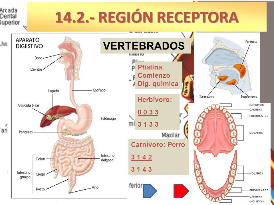 Herbívoro: 0 0 3 3 3 1 3 3 Carnívoro: Perro 3 1 4 2 3 1 4 3 14.2.- REGIÓN RECEPTORA VERTEBRADOS Ptialina. Comienzo Dig. química