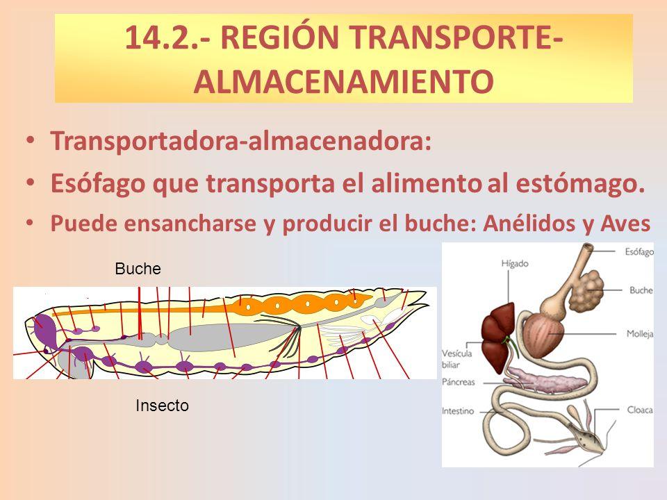 Transportadora-almacenadora: Esófago que transporta el alimento al estómago. Puede ensancharse y producir el buche: Anélidos y Aves 14.2.- REGIÓN TRAN