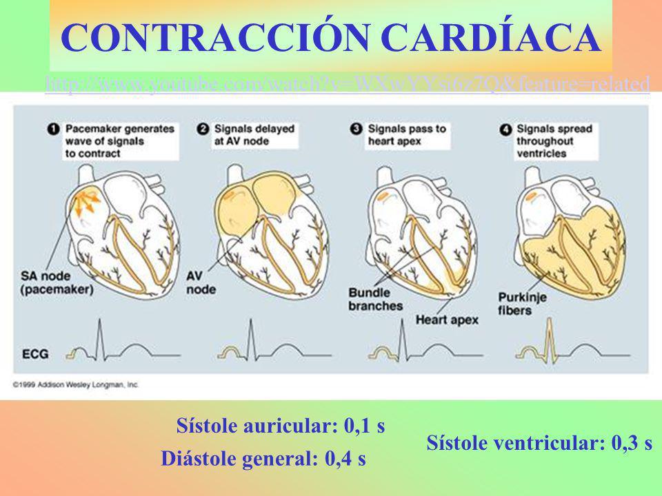 CONTRACCIÓN CARDÍACA Sístole auricular: 0,1 s Sístole ventricular: 0,3 s http://www.youtube.com/watch?v=WXwYYsi6z7Q&feature=related Diástole general: