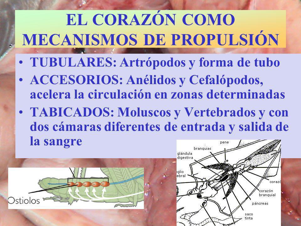 EL CORAZÓN COMO MECANISMOS DE PROPULSIÓN TUBULARES: Artrópodos y forma de tubo ACCESORIOS: Anélidos y Cefalópodos, acelera la circulación en zonas det