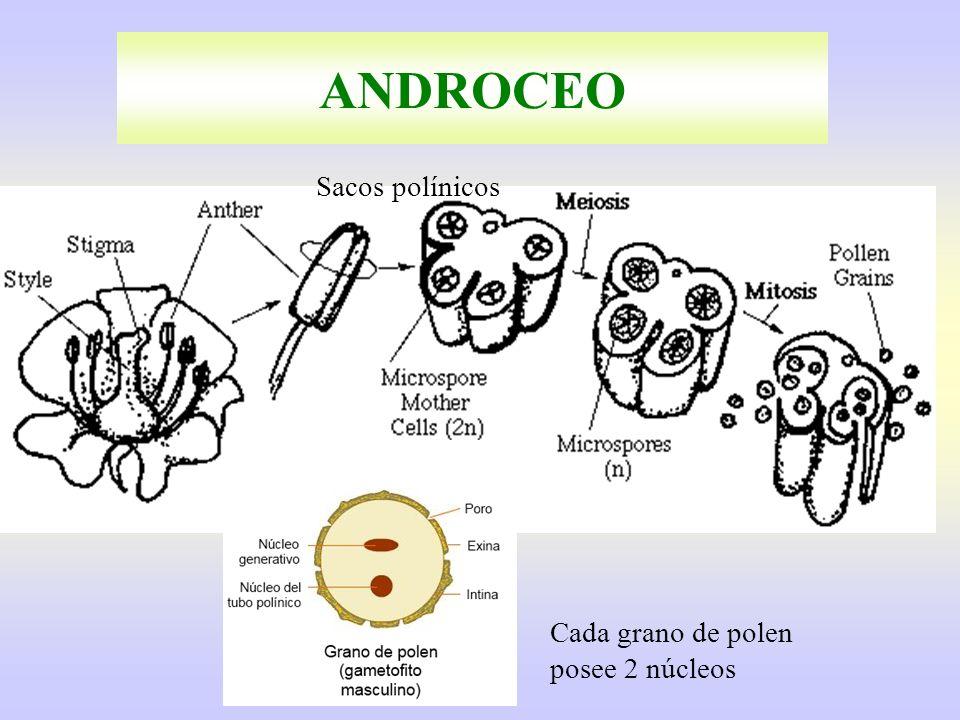 ANDROCEO Sacos polínicos Cada grano de polen posee 2 núcleos