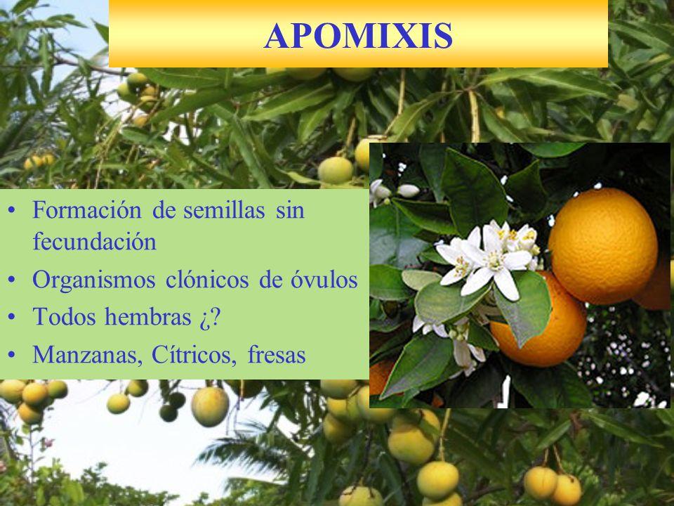 Formación de semillas sin fecundación Organismos clónicos de óvulos Todos hembras ¿? Manzanas, Cítricos, fresas APOMIXIS