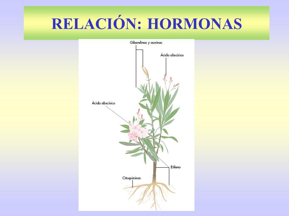 FITOHORMONAS Auxinas : Triptófano.Meristemo terminal.