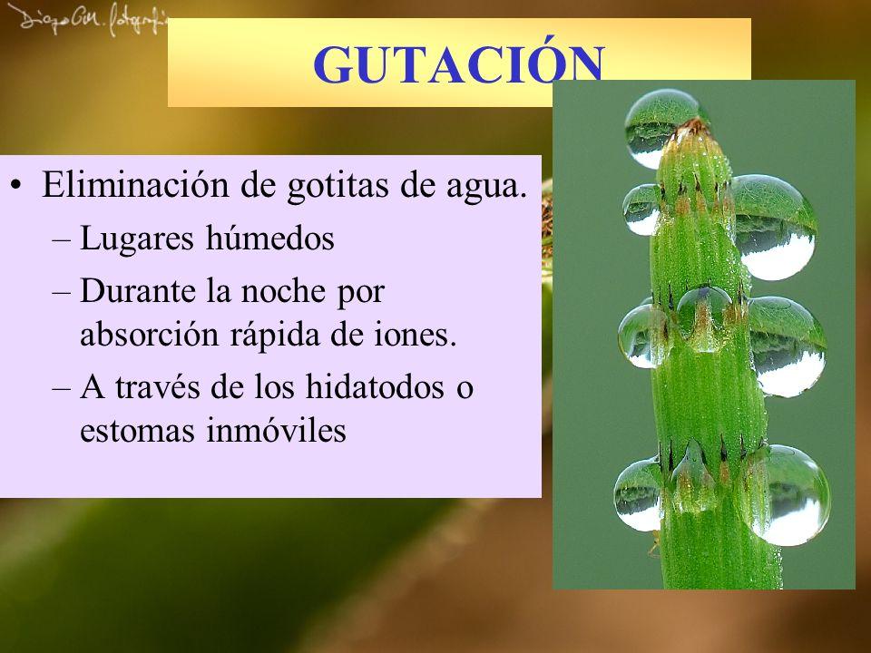 GUTACIÓN Eliminación de gotitas de agua. –Lugares húmedos –Durante la noche por absorción rápida de iones. –A través de los hidatodos o estomas inmóvi