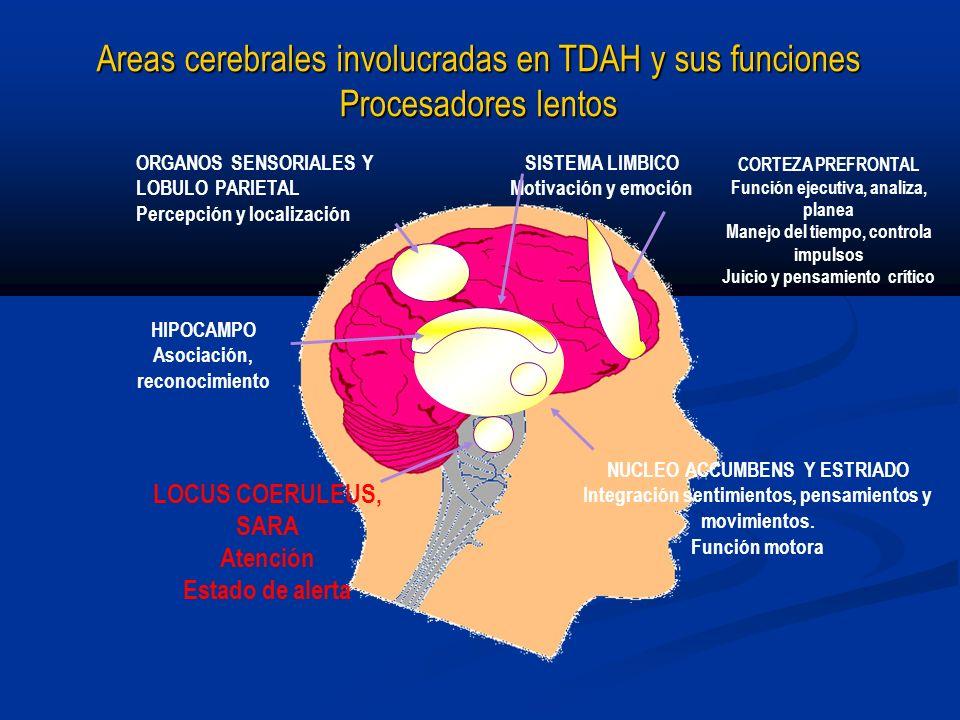 Areas cerebrales involucradas en TDAH y sus funciones Procesadores lentos ORGANOS SENSORIALES Y LOBULO PARIETAL Percepción y localización LOCUS COERUL
