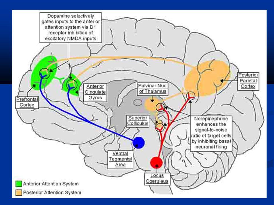 Areas cerebrales involucradas en TDAH y sus funciones Procesadores lentos ORGANOS SENSORIALES Y LOBULO PARIETAL Percepción y localización LOCUS COERULEUS, SARA Atención Estado de alerta SISTEMA LIMBICO Motivación y emoción NUCLEO ACCUMBENS Y ESTRIADO Integración sentimientos, pensamientos y movimientos.