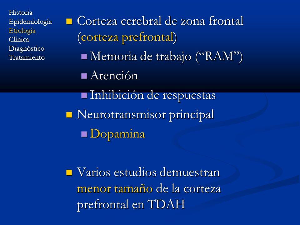 Corteza cerebral de zona frontal (corteza prefrontal) Corteza cerebral de zona frontal (corteza prefrontal) Memoria de trabajo (RAM) Memoria de trabaj