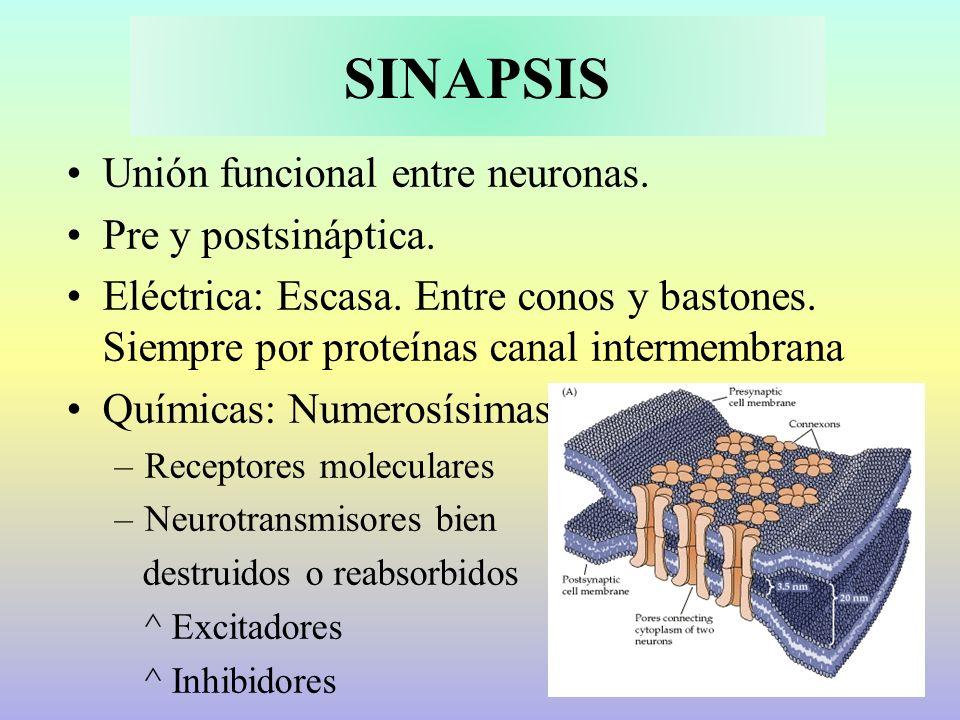 SINAPSIS Unión funcional entre neuronas. Pre y postsináptica. Eléctrica: Escasa. Entre conos y bastones. Siempre por proteínas canal intermembrana Quí