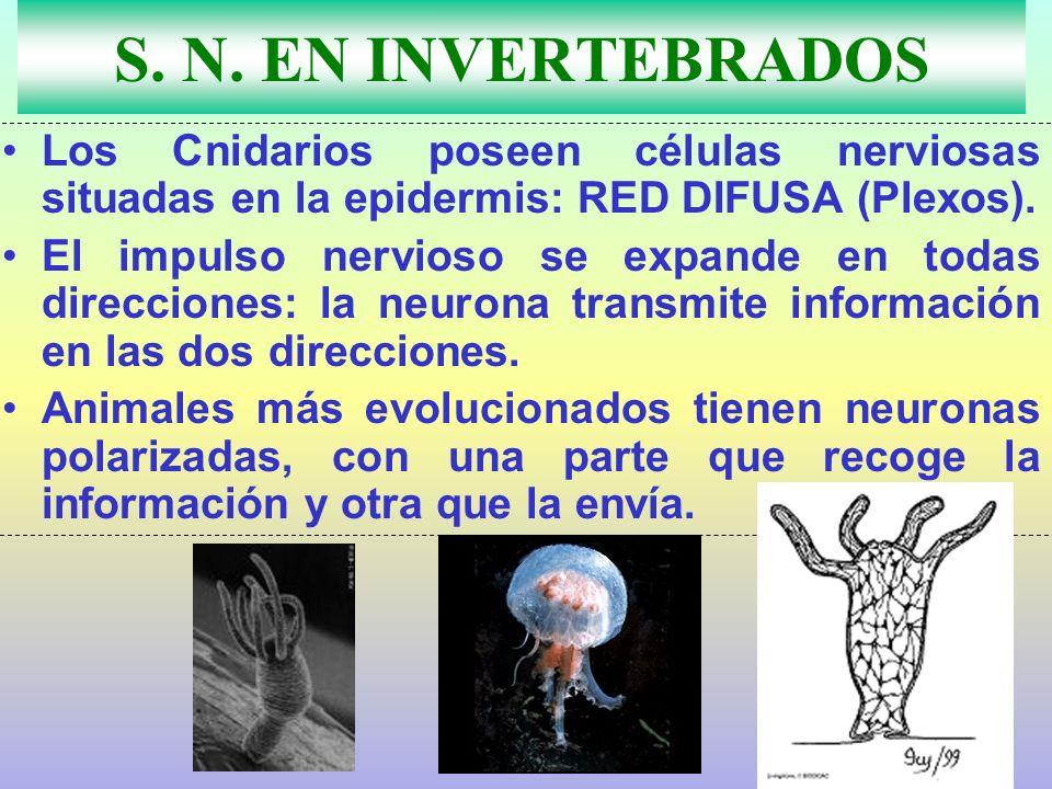 S. N. EN INVERTEBRADOS Los Cnidarios poseen células nerviosas situadas en la epidermis: RED DIFUSA (Plexos). El impulso nervioso se expande en todas d