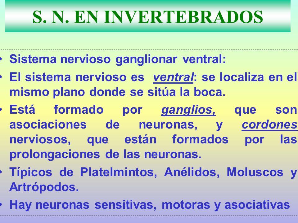 S. N. EN INVERTEBRADOS Sistema nervioso ganglionar ventral: El sistema nervioso es ventral: se localiza en el mismo plano donde se sitúa la boca. Está