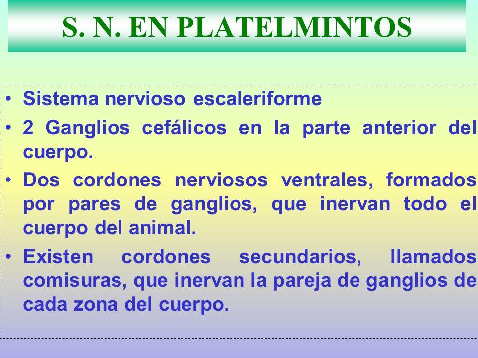 S. N. EN PLATELMINTOS Sistema nervioso escaleriforme 2 Ganglios cefálicos en la parte anterior del cuerpo. Dos cordones nerviosos ventrales, formados