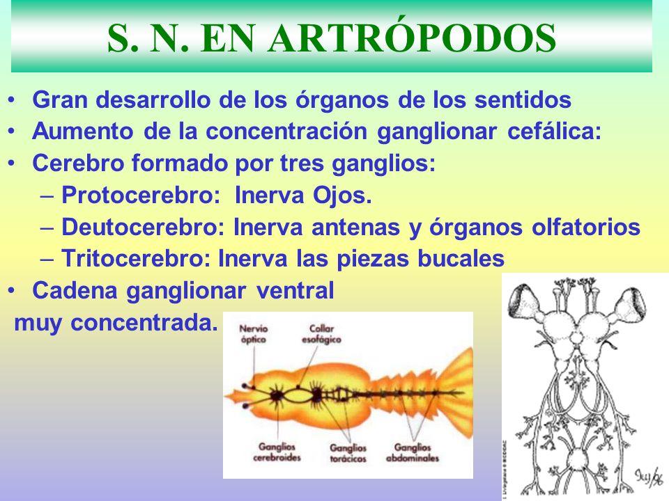 S. N. EN ARTRÓPODOS Gran desarrollo de los órganos de los sentidos Aumento de la concentración ganglionar cefálica: Cerebro formado por tres ganglios:
