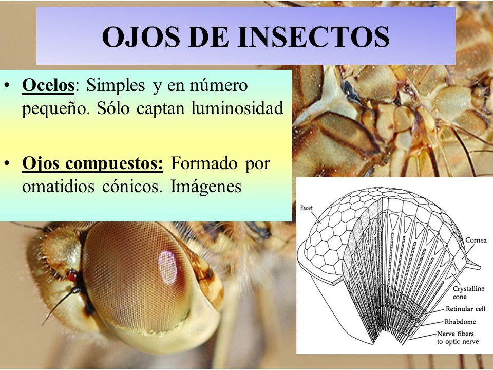 OJOS DE INSECTOS Ocelos: Simples y en número pequeño. Sólo captan luminosidad Ojos compuestos: Formado por omatidios cónicos. Imágenes