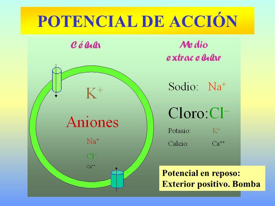 POTENCIAL DE ACCIÓN Potencial en reposo: Exterior positivo. Bomba