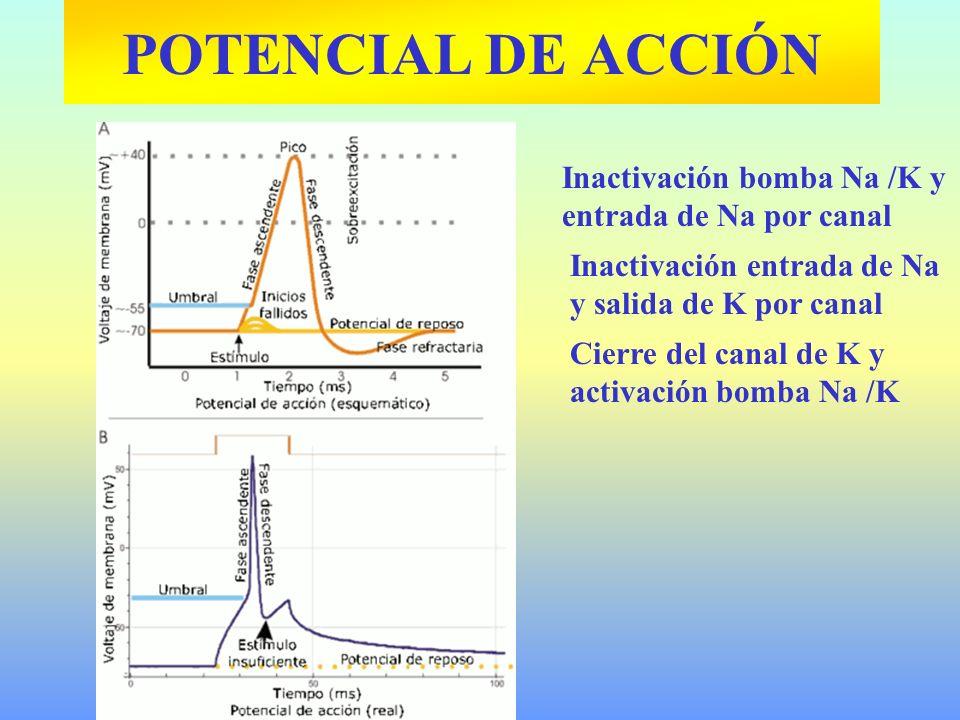 Inactivación bomba Na /K y entrada de Na por canal Inactivación entrada de Na y salida de K por canal Cierre del canal de K y activación bomba Na /K P