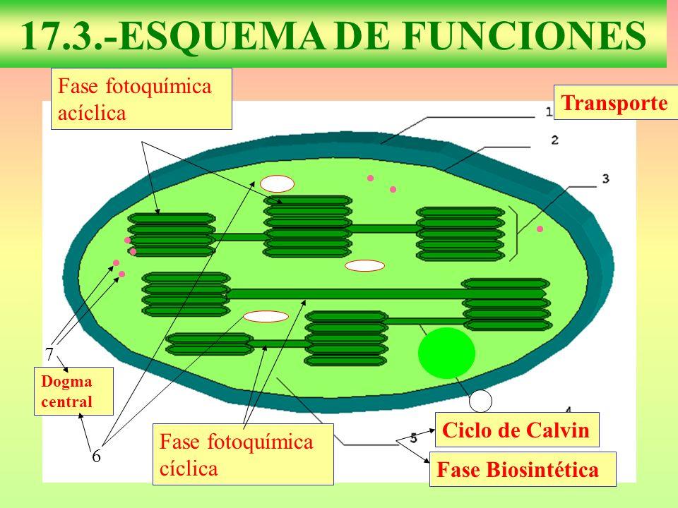 6 7 Dogma central Ciclo de Calvin Fase Biosintética Transporte Fase fotoquímica acíclica Fase fotoquímica cíclica 17.3.-ESQUEMA DE FUNCIONES