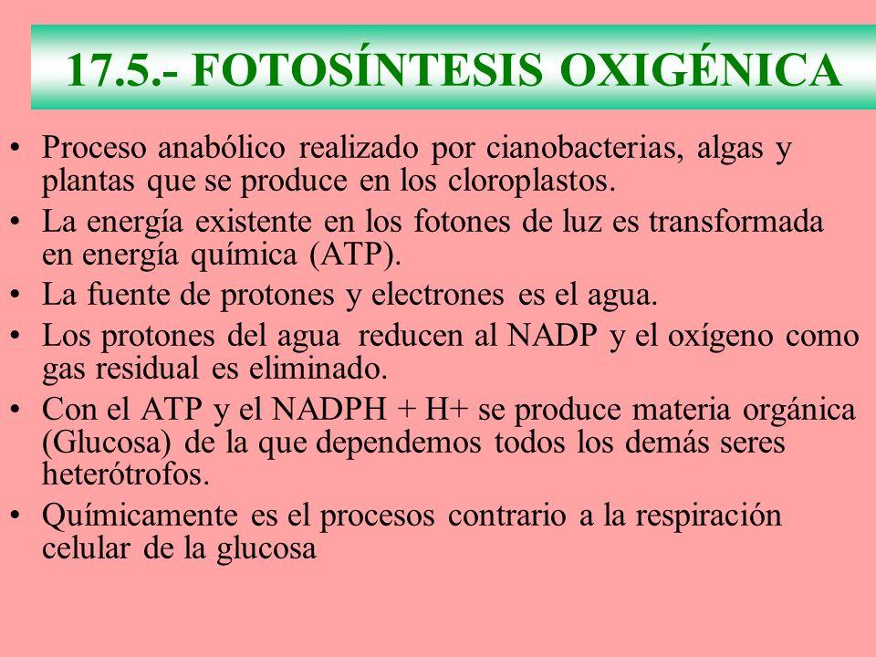 17.5.- FOTOSÍNTESIS OXIGÉNICA Proceso anabólico realizado por cianobacterias, algas y plantas que se produce en los cloroplastos. La energía existente