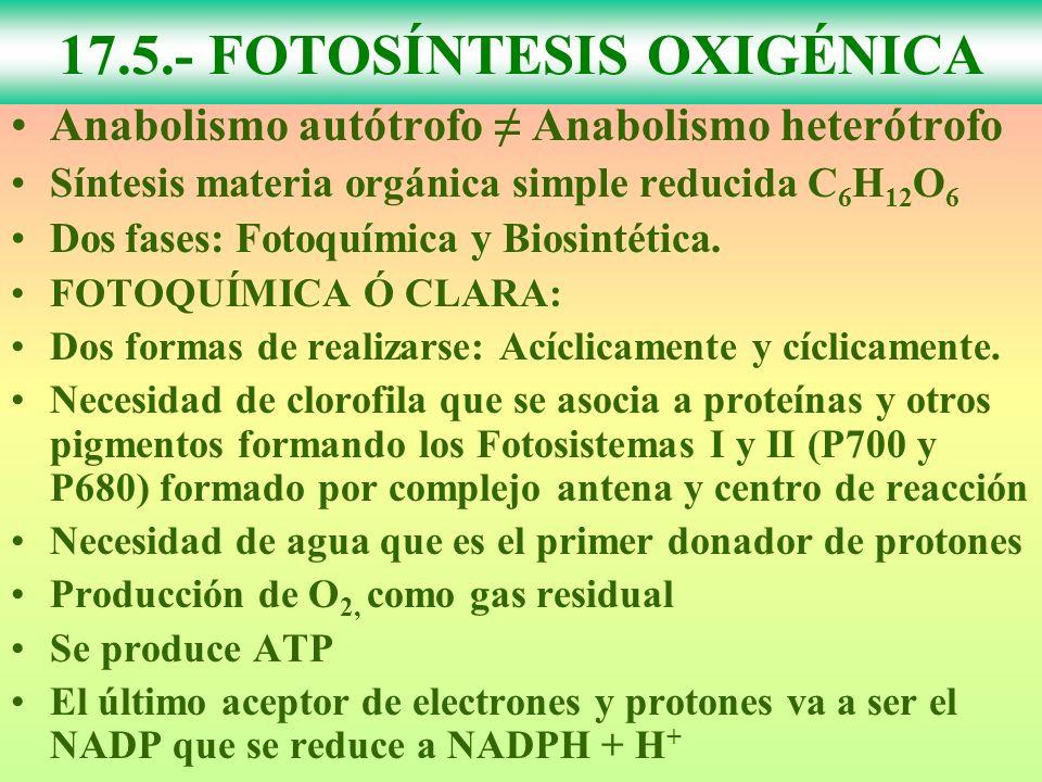 17.5.- FOTOSÍNTESIS OXIGÉNICA Anabolismo autótrofo Anabolismo heterótrofo Síntesis materia orgánica simple reducida C 6 H 12 O 6 Dos fases: Fotoquímica y Biosintética.