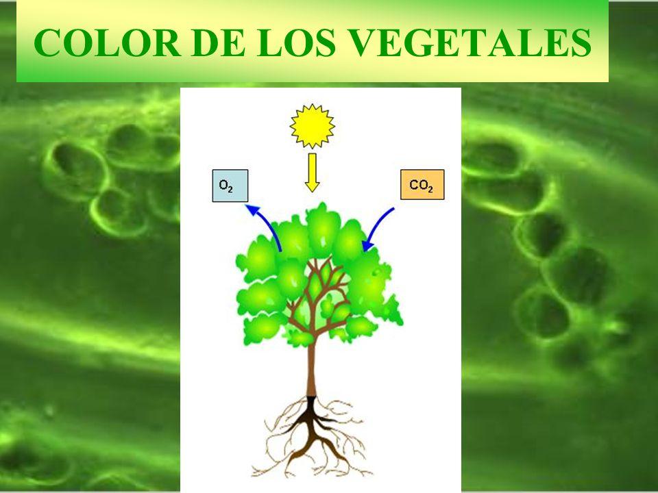 FOTOFOSFORILACIÓN CÍCLICA 17.5.- FOTOFOSFORILACIÓN CÍCLICA Plastocianina Fotosistema I TILACOIDES INTERGRANA