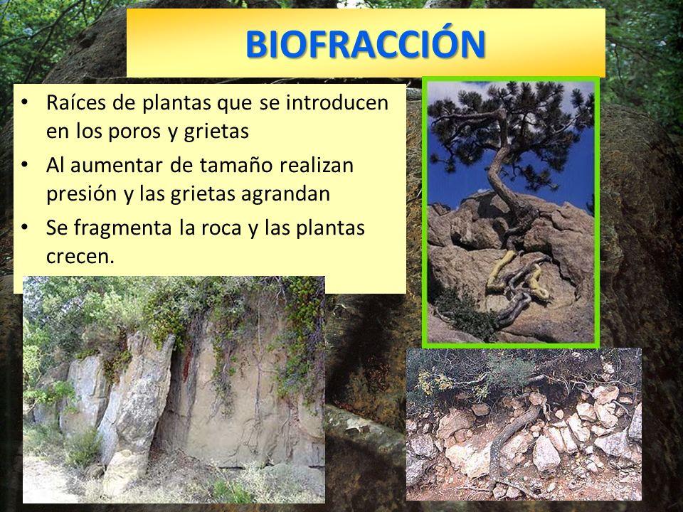 BIOFRACCIÓN Raíces de plantas que se introducen en los poros y grietas Al aumentar de tamaño realizan presión y las grietas agrandan Se fragmenta la r