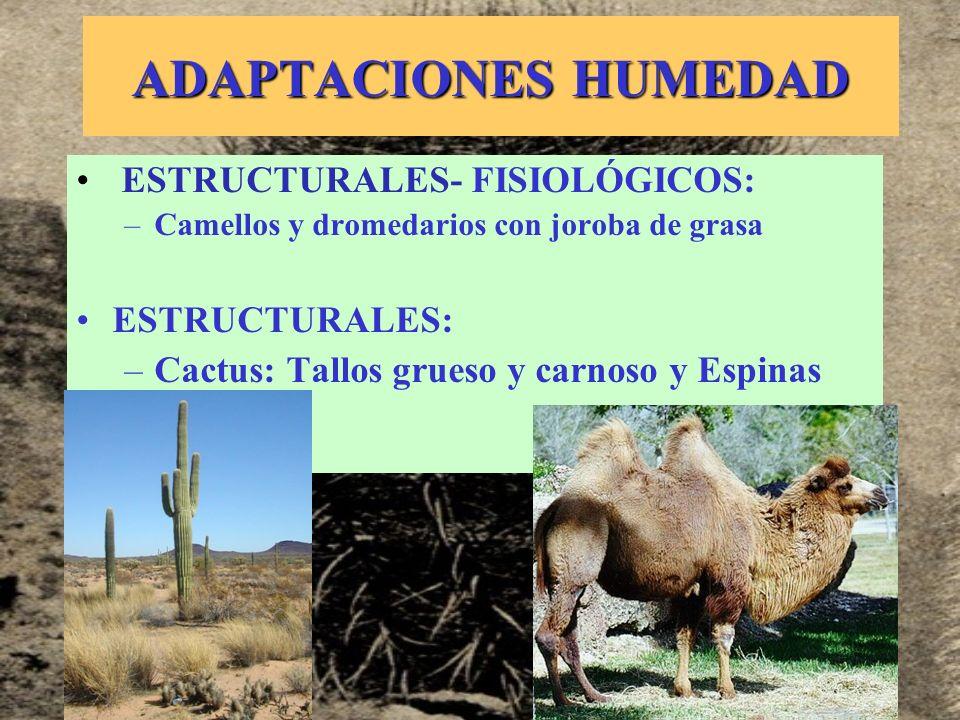 ADAPTACIONES HUMEDAD ESTRUCTURALES- FISIOLÓGICOS: –Camellos y dromedarios con joroba de grasa ESTRUCTURALES: –Cactus: Tallos grueso y carnoso y Espina