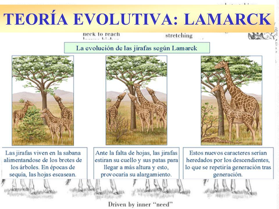 Macroevolución: Aparición de géneros, órdenes… no ocurre por microevolución gradual.