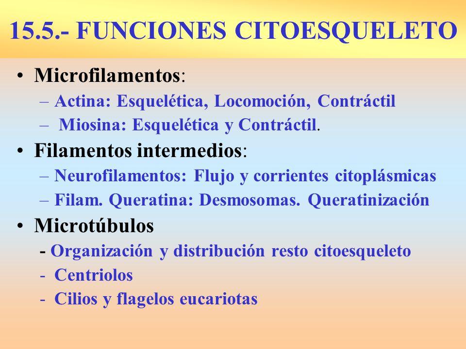 15.5.- FUNCIONES CITOESQUELETO Microfilamentos: –Actina: Esquelética, Locomoción, Contráctil – Miosina: Esquelética y Contráctil. Filamentos intermedi