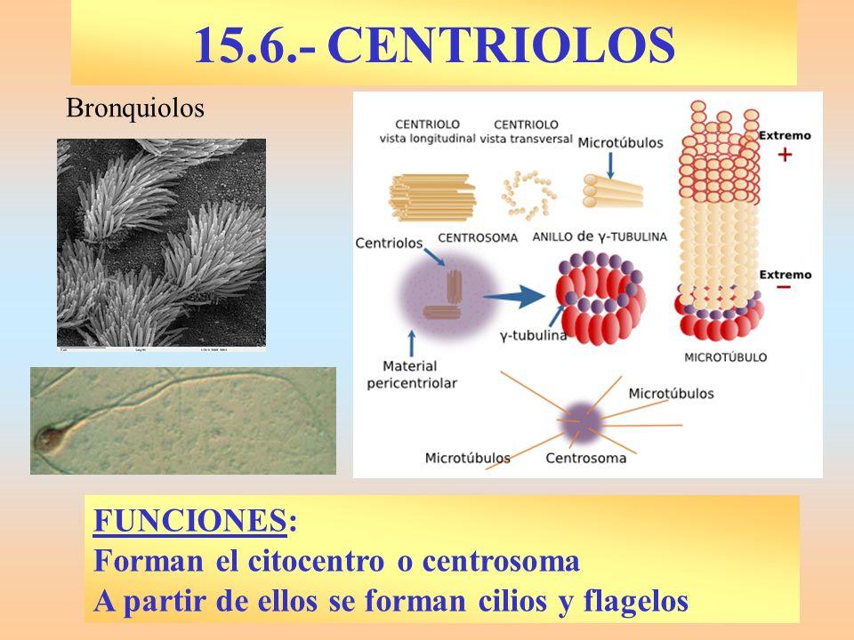 15.6.- CENTRIOLOS FUNCIONES: Forman el citocentro o centrosoma A partir de ellos se forman cilios y flagelos Bronquiolos