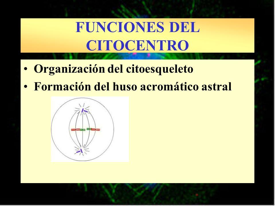 Organización del citoesqueleto Formación del huso acromático astral FUNCIONES DEL CITOCENTRO