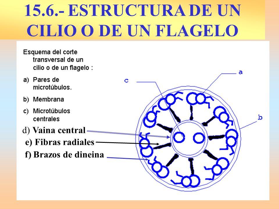 d) Vaina central e) Fibras radiales f) Brazos de dineina 15.6.- ESTRUCTURA DE UN CILIO O DE UN FLAGELO