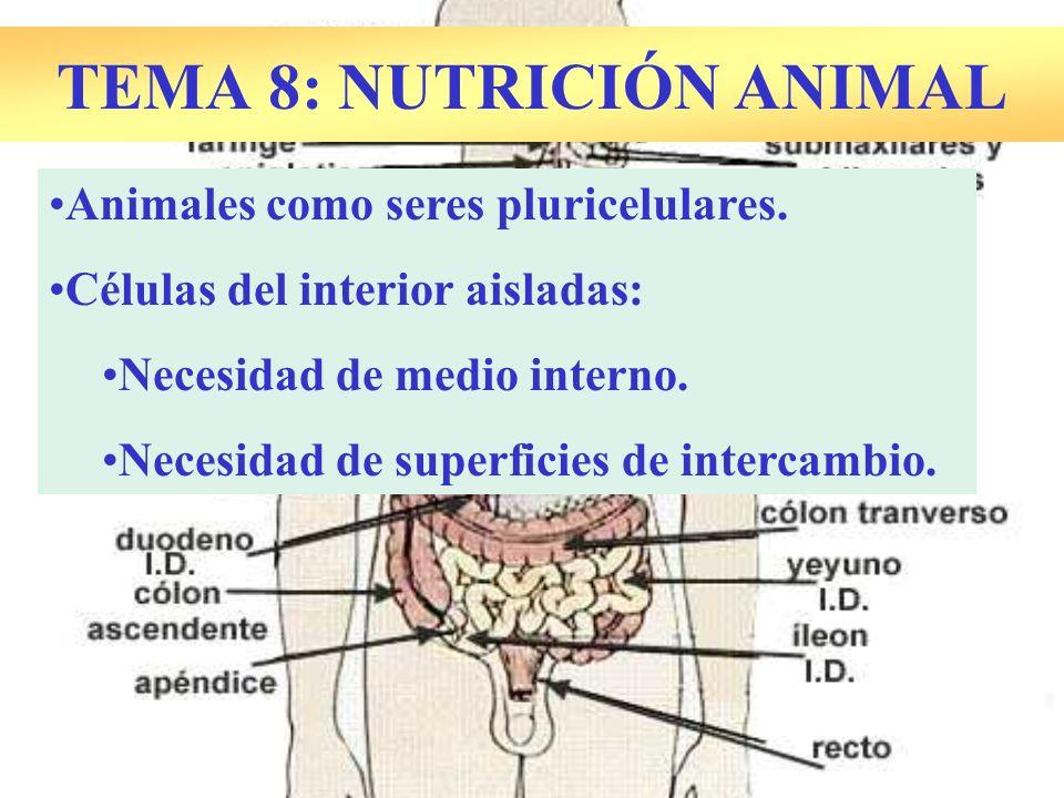 TEMA 8: NUTRICIÓN ANIMAL Animales como seres pluricelulares. Células del interior aisladas: Necesidad de medio interno. Necesidad de superficies de in
