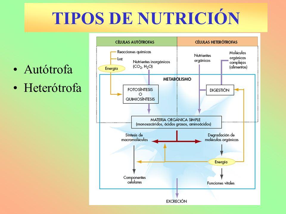 Autótrofa Heterótrofa TIPOS DE NUTRICIÓN