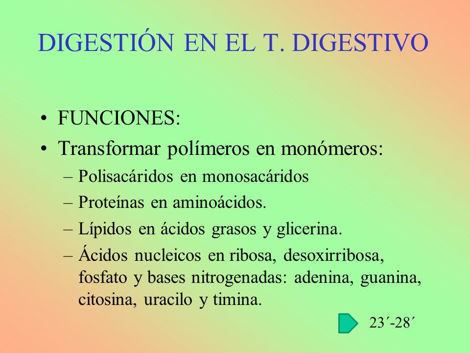 FUNCIONES: Transformar polímeros en monómeros: –Polisacáridos en monosacáridos –Proteínas en aminoácidos. –Lípidos en ácidos grasos y glicerina. –Ácid