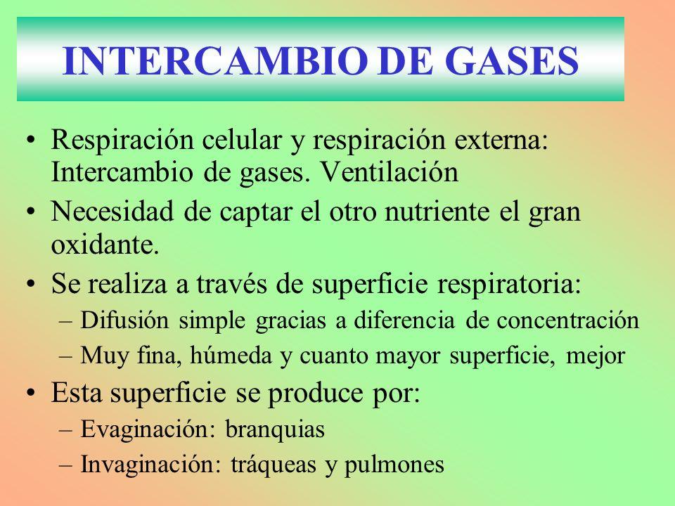 INTERCAMBIO DE GASES Respiración celular y respiración externa: Intercambio de gases. Ventilación Necesidad de captar el otro nutriente el gran oxidan