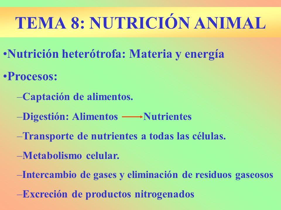 TEMA 8: NUTRICIÓN ANIMAL Nutrición heterótrofa: Materia y energía Procesos: –Captación de alimentos. –Digestión: AlimentosNutrientes –Transporte de nu