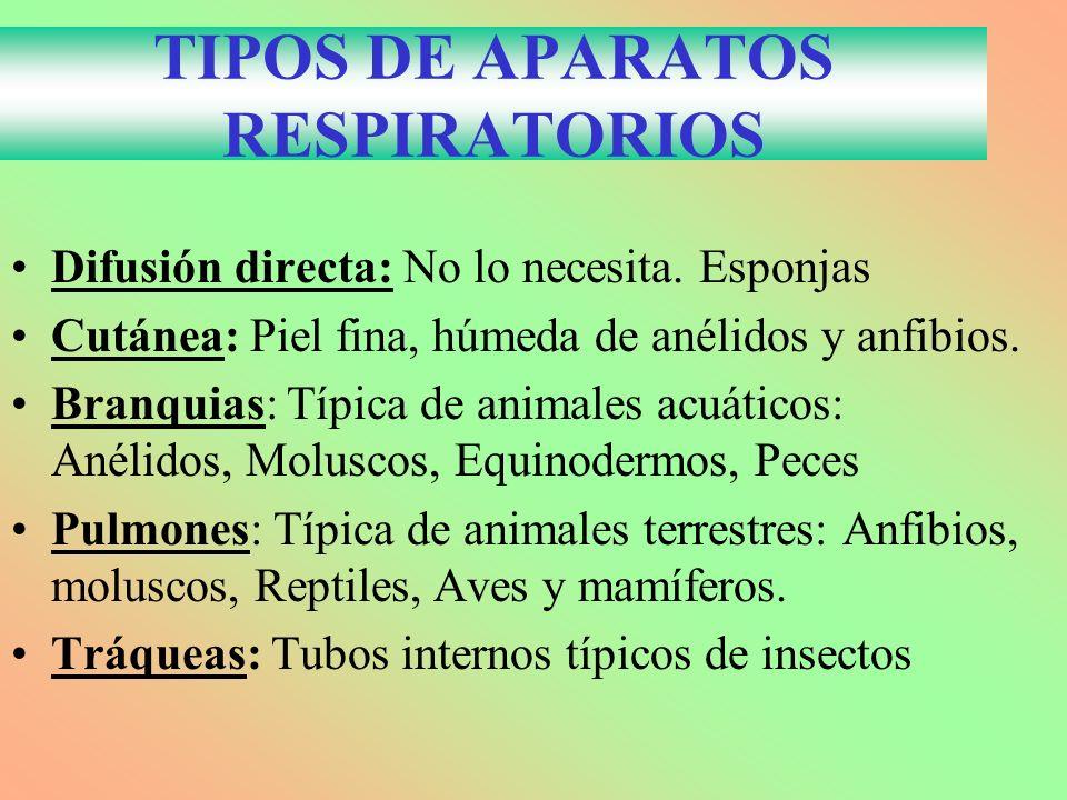 TIPOS DE APARATOS RESPIRATORIOS Difusión directa: No lo necesita. Esponjas Cutánea: Piel fina, húmeda de anélidos y anfibios. Branquias: Típica de ani