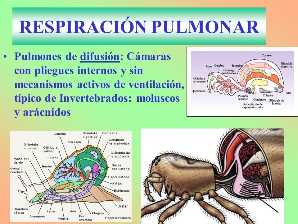 RESPIRACIÓN PULMONAR Pulmones de difusión: Cámaras con pliegues internos y sin mecanismos activos de ventilación, típico de Invertebrados: moluscos y