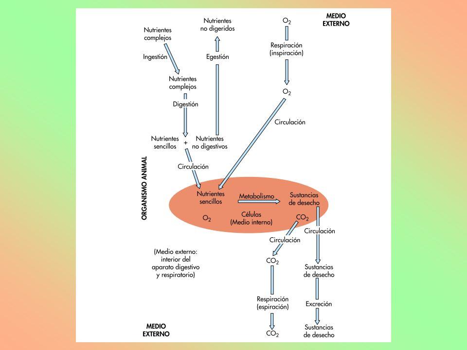 SUPERFICIES DE INTERCAMBIO: –Vellosidades intestinales: Absorción de nutrientes procedentes de la digestión.