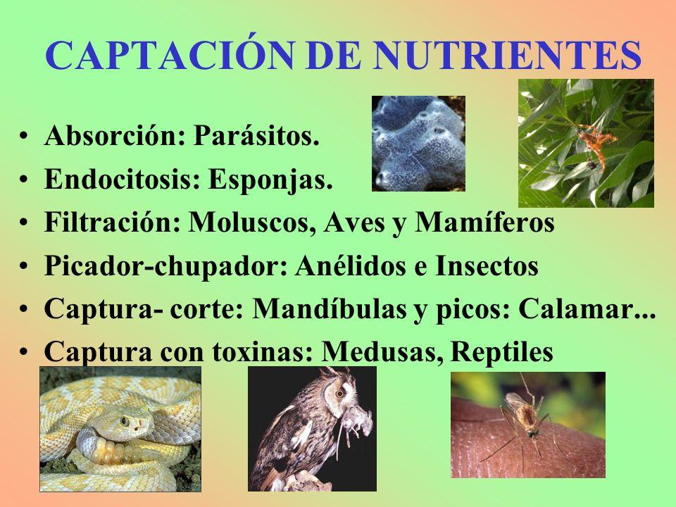 CAPTACIÓN DE NUTRIENTES Absorción: Parásitos. Endocitosis: Esponjas. Filtración: Moluscos, Aves y Mamíferos Picador-chupador: Anélidos e Insectos Capt