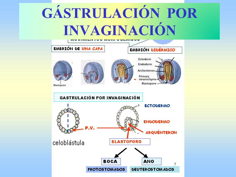 Desplazamientos de células GÁSTRULACIÓN POR INVAGINACIÓN
