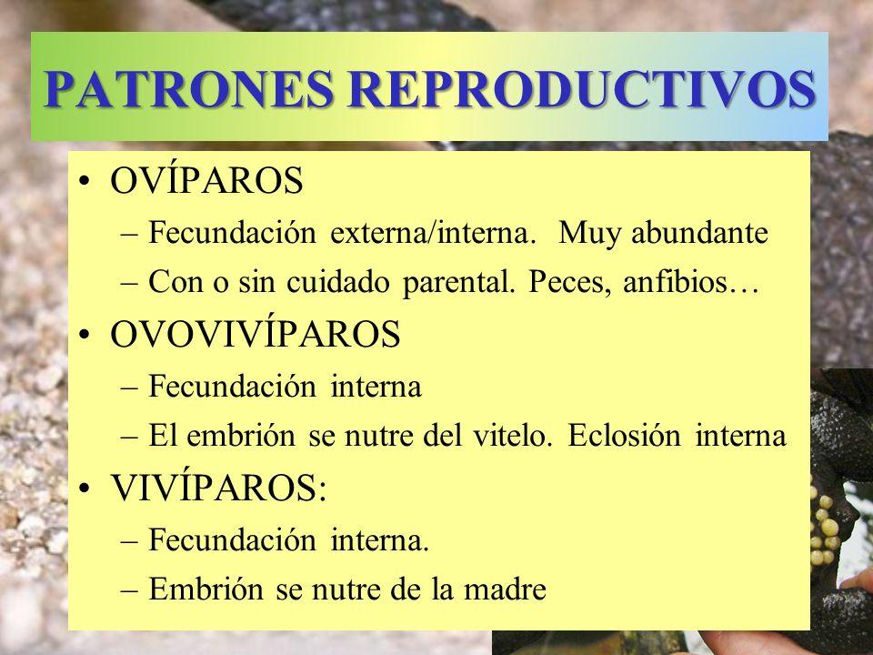 PATRONES REPRODUCTIVOS OVÍPAROS –Fecundación externa/interna. Muy abundante –Con o sin cuidado parental. Peces, anfibios… OVOVIVÍPAROS –Fecundación in