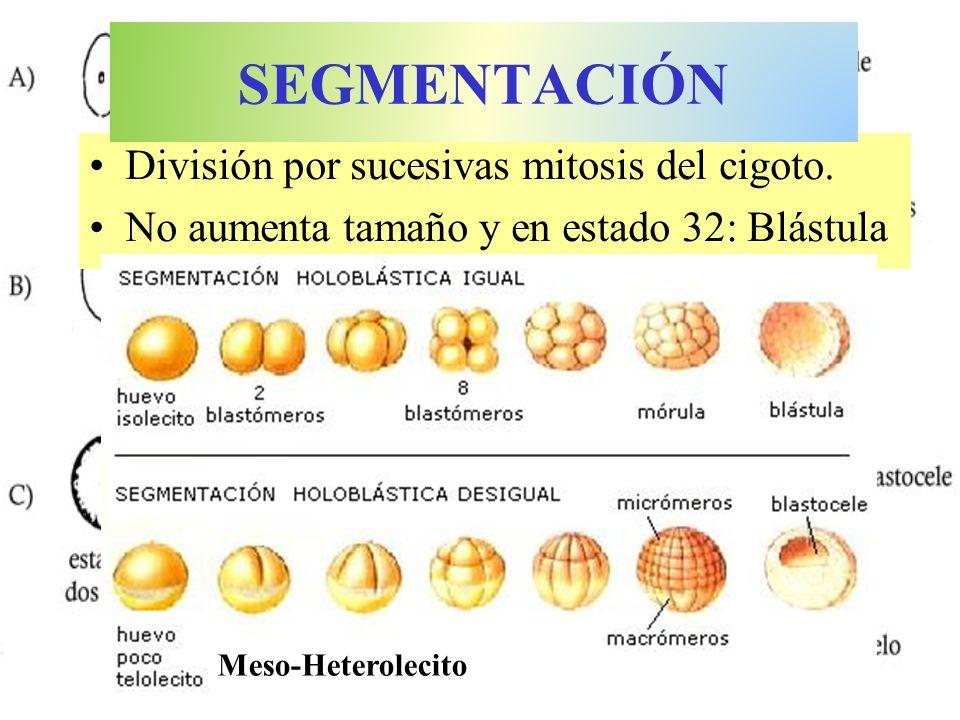 División por sucesivas mitosis del cigoto. No aumenta tamaño y en estado 32: Blástula SEGMENTACIÓN Meso-Heterolecito