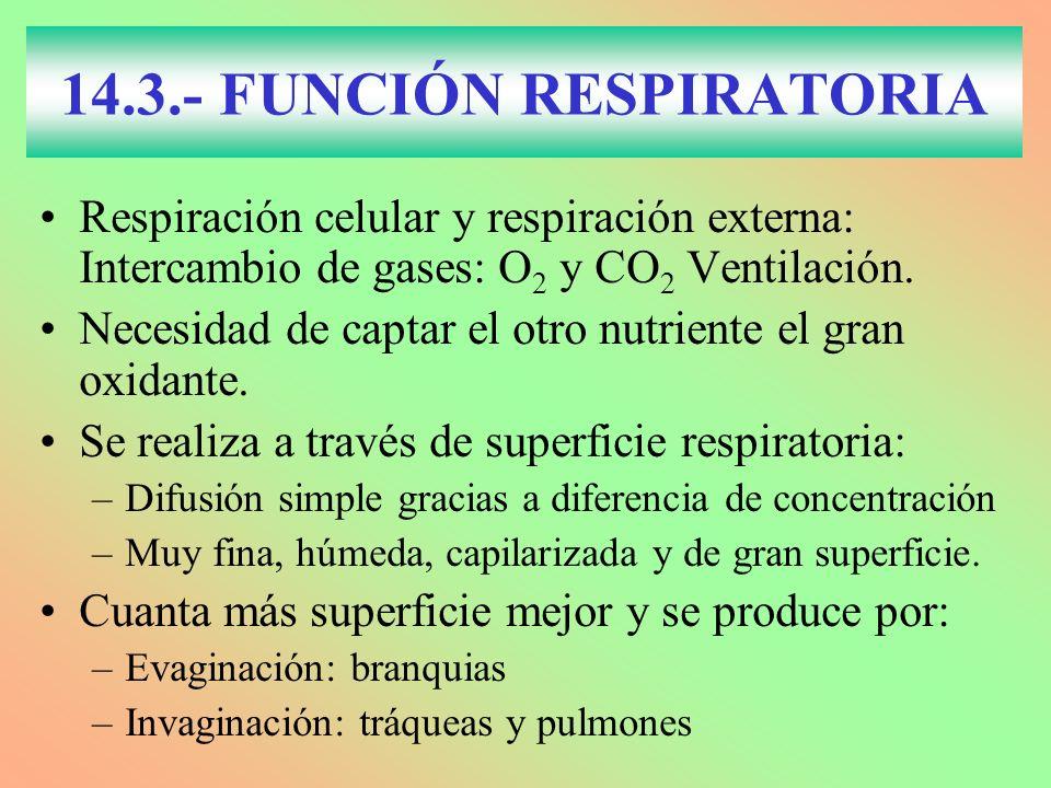 14.3.- FUNCIÓN RESPIRATORIA Respiración celular y respiración externa: Intercambio de gases: O 2 y CO 2 Ventilación. Necesidad de captar el otro nutri