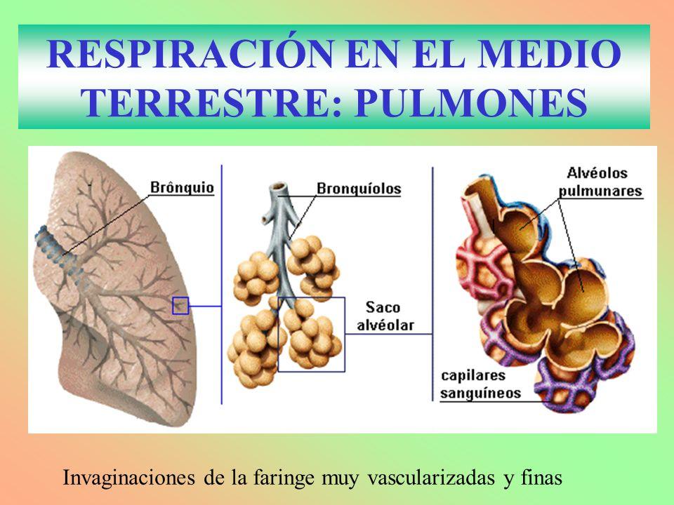 RESPIRACIÓN EN EL MEDIO TERRESTRE: PULMONES Invaginaciones de la faringe muy vascularizadas y finas